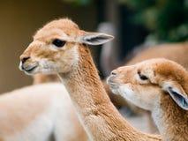 Zwei Schätzchen Lamas Stockfotografie