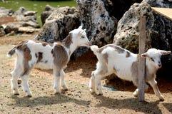 Zwei Schätzchen-Ziegen lizenzfreie stockbilder