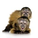 Zwei SchätzchenCapuchins - sapajou a Lizenzfreie Stockbilder