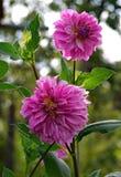 Zwei schöne Chrysanthemen hochrot auf den hohen, dünnen, spröden Stämmen lizenzfreie stockfotografie