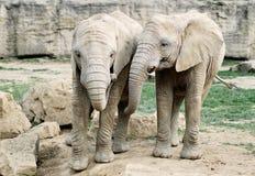 Zwei schöne Elefanten Lizenzfreie Stockfotos