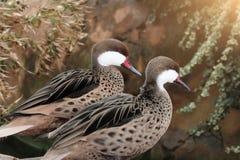 Zwei schöne Enten mit dem roten Schnabel Stockfoto