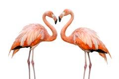 Zwei schöne Flamingos in der Liebe Lizenzfreie Stockfotografie