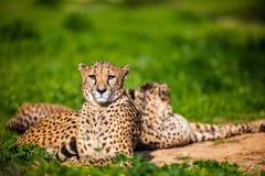 Zwei schöne Geparde, die auf grünem Gras stillstehen und ein Sonnenbad nehmen Lizenzfreie Stockfotografie