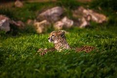 Zwei schöne Geparde, die auf grünem Gras stillstehen und ein Sonnenbad nehmen Stockbilder