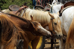 Zwei schöne gesattelte Pferde israel Stockfoto