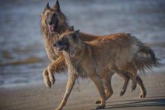 Zwei schöne Hunde spielen auf einem Strand Lizenzfreies Stockbild