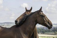 Zwei schöne nuzzling Braunen Stockfotos