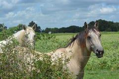 Zwei schöne Pferde Lizenzfreie Stockfotos