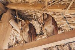Zwei schöne Schleiereulen Die Schleiereule ist die weit verteilten Spezies der Eule Lizenzfreies Stockfoto