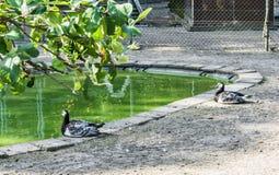 Zwei schöne schwarze weiße Enten, die an einem Teichwald sitzen, gestalten landschaftlich Lizenzfreie Stockfotos