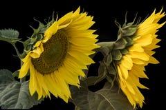 Zwei schöne Sonnenblumen mit den Blättern lokalisiert Lizenzfreies Stockfoto