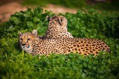 Zwei schöne stillstehende und ein Sonnenbad nehmende Geparde Stockbilder