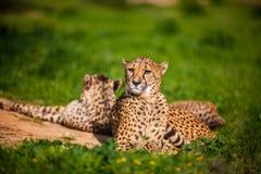 Zwei schöne stillstehende und ein Sonnenbad nehmende Geparde Lizenzfreies Stockfoto