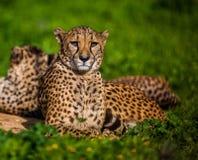 Zwei schöne stillstehende und ein Sonnenbad nehmende Geparde Lizenzfreie Stockfotografie