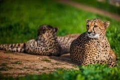 Zwei schöne stillstehende und ein Sonnenbad nehmende Geparde Stockbild