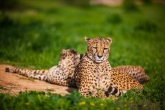 Zwei schöne stillstehende und ein Sonnenbad nehmende Geparde Stockfotos