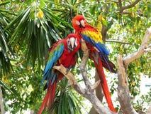 Zwei schöne tropische Papageien stockfotos