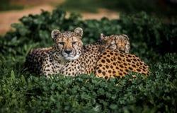 Zwei schöne wilde Geparde, die auf grünen Feldern stillstehen Lizenzfreies Stockbild