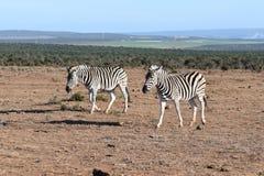 Zwei schöne Zebras in Addo Elephant Park in Colchester, Südafrika Stockbild
