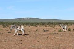 Zwei schöne Zebras in Addo Elephant Park in Colchester, Südafrika Stockbilder