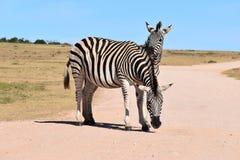 Zwei schöne Zebras auf einer Straße in Addo Elephant Park in Colchester, Südafrika Stockbild