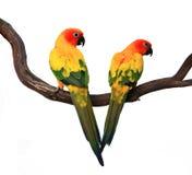 Zwei schöner Sun Conures auf einem Zweig Lizenzfreie Stockfotos