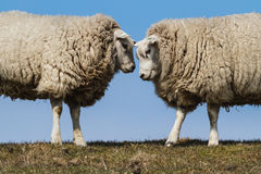 Zwei Schafe Stockfotos