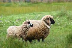 Zwei Schafe Lizenzfreies Stockfoto
