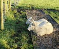 Zwei Schafe stockfoto
