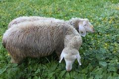 Zwei Schafe auf dem grünen Feld Stockbilder