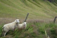 Zwei Schafe auf einem Gebiet Lizenzfreie Stockfotos