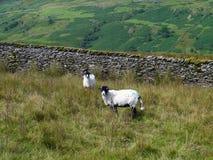 Zwei Schafe auf Hügel durch Wand Stockfotografie