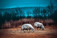 Zwei Schafe, die auf dem Feld weiden lassen Lizenzfreies Stockfoto