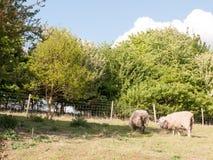Zwei Schafe, die auf einem Gebiet an einem Sommer ` s Nachmittag stillstehen und weiden lassen Lizenzfreies Stockfoto
