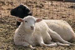 Zwei Schafe, die unten eine schauende Kamera liegen Stockbild