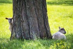 Zwei Schafe, die unter einem großen Baum im Sommer stillstehen stockfotografie