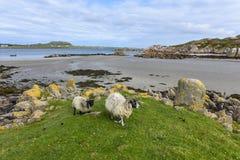 Zwei Schafe, die vom Strand, Insel von Mull, Schottland, Vereinigtes Königreich kommen stockfoto