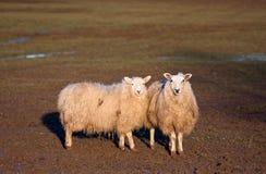 Zwei Schafe, die zusammen auf einem Gebiet stehen Lizenzfreies Stockfoto