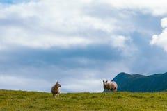 Zwei Schafe im Sommer Skandinavien lizenzfreies stockfoto