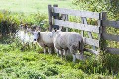 Zwei Schafe nahe einem Zaun stockfotos