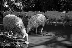 Zwei Schafe trinken von einem Nebenfluss stockfotografie