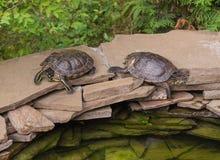 Zwei Schildkröten auf den Felsen Stockbild