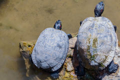Zwei Schildkröten auf einem Felsen stockfotos