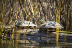 Zwei Schildkröten, die auf einem Klotz sich aalen Stockbild