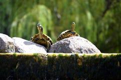 Zwei Schildkröten, die auf Steinen nahe dem Wasser sitzen Lizenzfreie Stockfotografie
