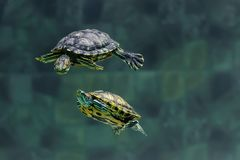 Zwei Schildkröten schwimmen in einem Aquarium des Zoos lizenzfreie stockfotos