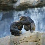 Zwei Schimpansen Stockfoto