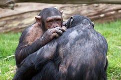 Zwei Schimpansen, die sich pflegen Stockfoto