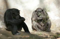 Zwei Schimpansen am Zoo Lizenzfreies Stockbild